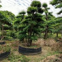 湖南造型赤楠3介绍/特征/用途