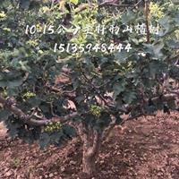 8公分山楂树多少钱一棵?8公分山楂树多少钱一株?供应山西