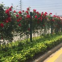 薔薇月季苗現挖現賣,薔薇種植易成活,薔薇基地貨源充足
