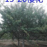江蘇供應櫻花、櫻花價格、20公分精品櫻花報價
