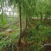 垂柳、江苏垂柳、垂柳行情价格、直生柳、柳树