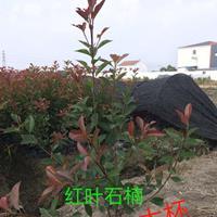红叶石楠小苗、红叶石楠大杯苗、红叶石楠杯苗