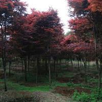 红枫、鸡爪槭供应