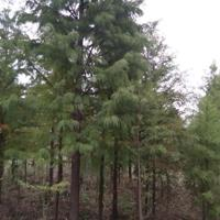 水杉3-15公分价格/直销水杉价格