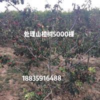 8公分绿化山楂树+9公分果园山楂树+10公分占地山楂树价格