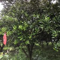 浙江衢州低价出售精品胡柚树