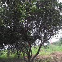 浙江衢州4m嫁接胡柚树