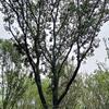 浙江湖州提供丛生杀朴树