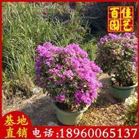 水仙紫三角梅价格