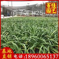 百子莲苗场直销 高度25-30 价格2.8