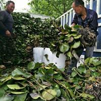杭州萧山传武苗圃常年大量供应各种优质睡莲,品种较多,价格优慧