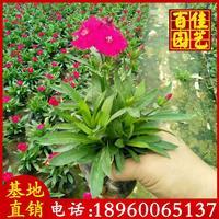 時花、鳳仙、香彩雀、時竹、孔雀草價格