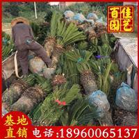 苏铁铁树价格