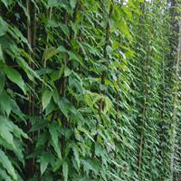 油麻藤*新价格 油麻藤攀爬植物