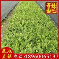 排骨草、肾蕨、蜈蚣草苗场直销 高度20-30 价格1.8