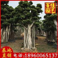 榕樹樁頭苗場