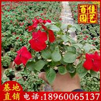 时花、凤仙、香彩雀、时竹、孔雀草苗场直销 价格1.1