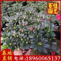 西洋杜鵑 25-30高 價格4.6