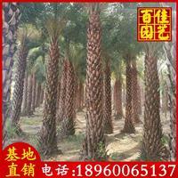 中东海枣银海枣苗场直销 杆高3-3.5米 650元