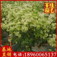 绿叶樱花三角梅价格