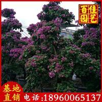 紫色桩头三角梅价格