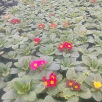 欧洲报春花批发价格   欧洲报春花种植基地  时令花卉草花