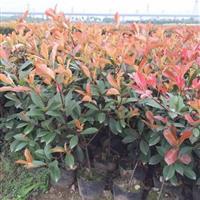 红叶石楠,红叶石楠球,红叶石楠树,红叶石楠大小杯苗