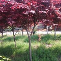 红枫,鸡爪槭,日本红枫,美国红枫