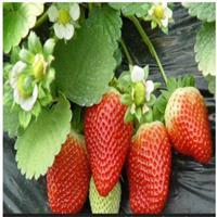 草莓苗 草莓苗 出售草莓苗 大量快乐赛车开奖草莓苗 蓝莓苗 香椿苗等