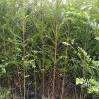 80公分1米高地径0.8公分1公分南方红豆杉杯苗