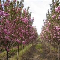 樱花价格3-10公分,早樱,晚樱,单樱,双樱。