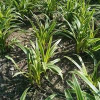 麦冬草,金边麦冬草,基地直供,价格便宜