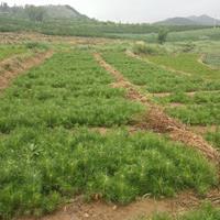 河北围场,供应:樟子松20公分营养杯2+2苗