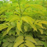 河北定州金叶接骨木在园林绿化的应用和产品报价