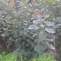 河北定州 美国红栌 紫叶红栌品种介绍及2-5公分价格