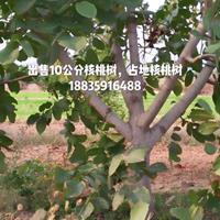 大核桃树哪有卖的?占地核桃10公分·15公分大核桃树多少钱?