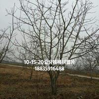 哪有大核桃树?大一点的核桃树·占地大核桃树价格图片产地