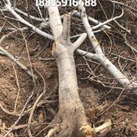 核桃树8公分多少钱?核桃树粗度8公分价钱·直径8公分核桃树