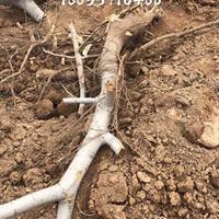 一株8公分核桃树多少钱?一棵8公分核桃树价钱?占地核桃树产地