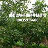 10公分核桃树·10公分核桃树价格·占地核桃树10公分报价