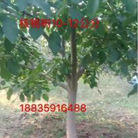 地径10-12公分核桃树=米径8-10公分核桃树价格100元
