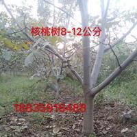 山西10公分核桃树价格·运城15公分核桃树价格12公分核桃树