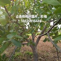 山西核桃树哪里多?运城10-12-15公分核桃树多少钱一棵?