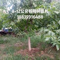 10公分占地核桃树图片·10公分占地核桃树价格供应山西核桃树
