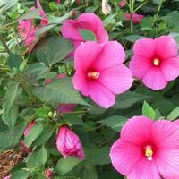 河北定州大花秋葵什么时候种植 大花秋葵价格