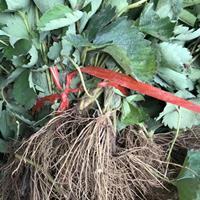 草莓猫  香椿苗