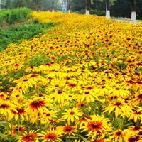 河北定州金光菊怎样种植?金光菊销售价格是多少?