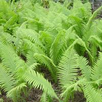 荚果蕨的作用有哪些?河北定州荚果蕨销售价格