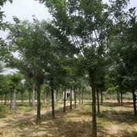 批量出售20公分国槐树20公分国槐树价格