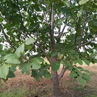哪里有薄皮核桃树?占地薄皮核桃树产地详情·山西运城薄皮核桃树